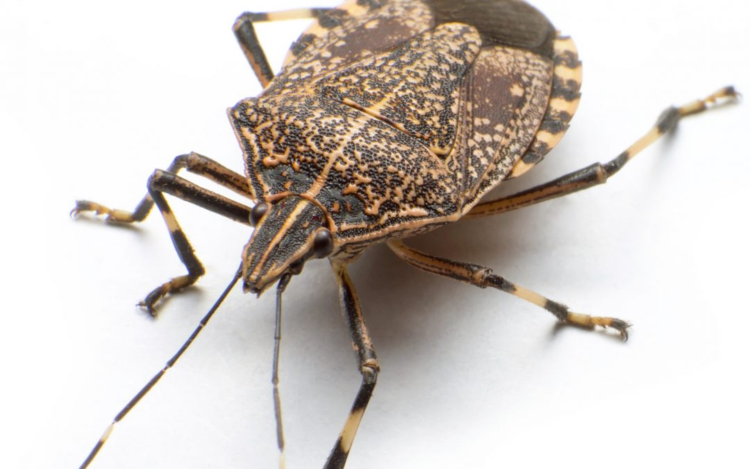 Combating the Stink Bug: 5 Tips to Get Rid of These Pests