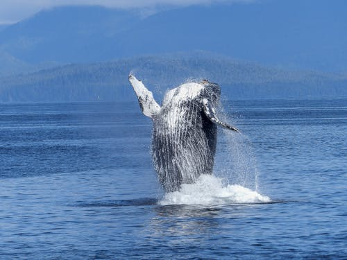 Resurgence of Humpback Whales Exciting the Northwest